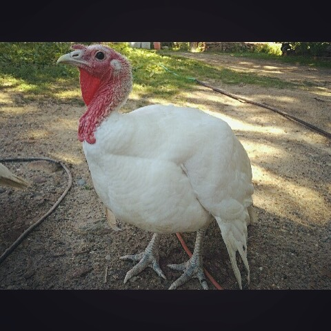 One week till Thanksgiving! This bird is from thegoodfarm hellip